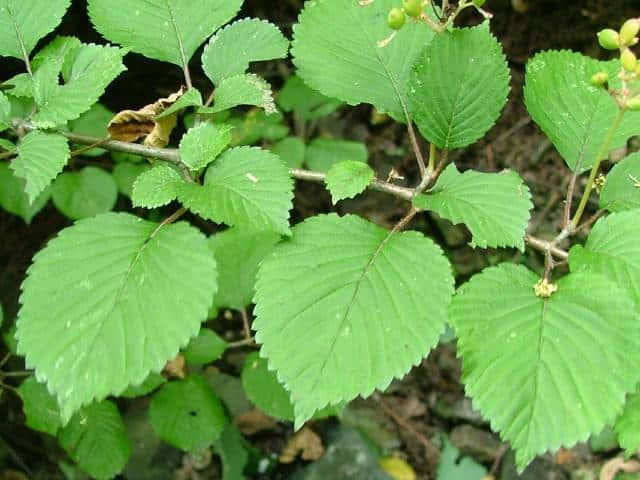 ヤブデマリ 複葉、分裂する葉  葉で見る樹木