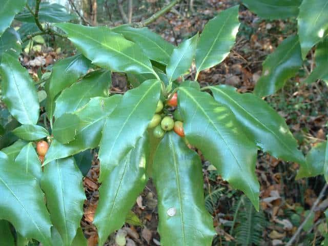 アオキ (植物)の画像 p1_28