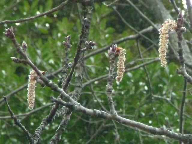 ヤマナラシの画像 p1_5