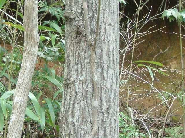 ヤマナラシの画像 p1_28