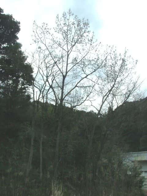 ヤマナラシの画像 p1_7