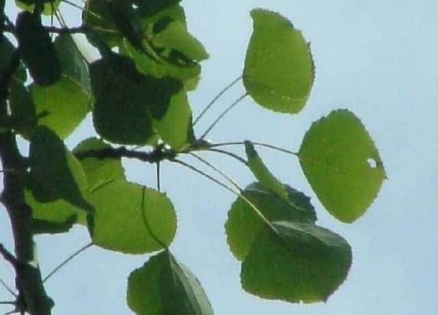ヤマナラシの画像 p1_11