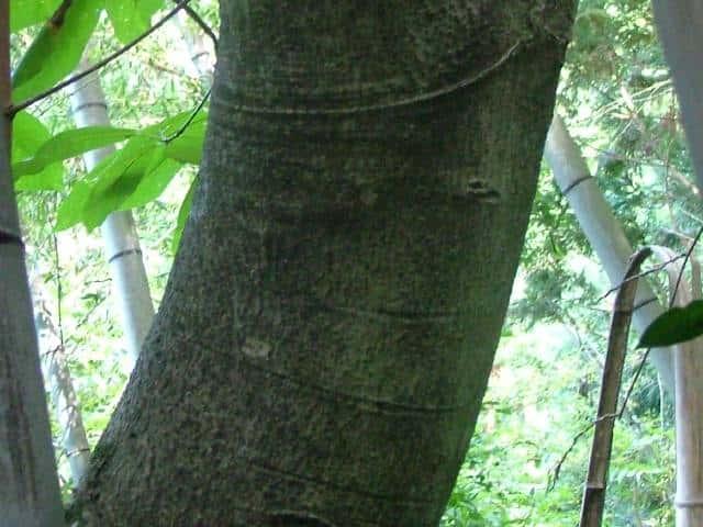 ホオノキの画像 p1_22