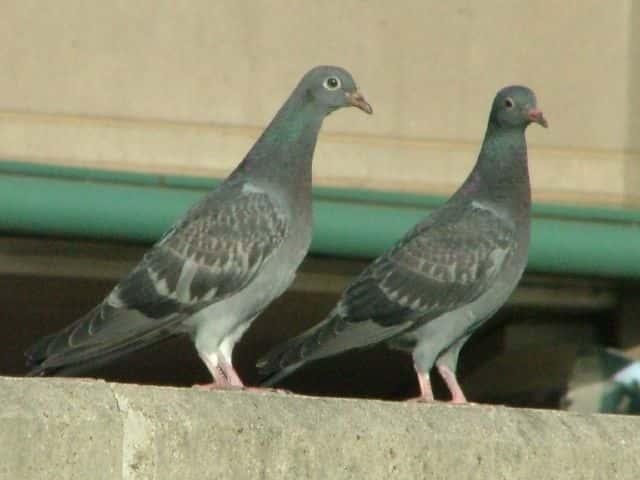 ドバト ドバト ドバト(土鳩) 時 期留鳥 環 境ビル街、河原、農耕地など。 特 徴羽色は灰色か