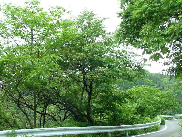 ヤマグワの画像 p1_6