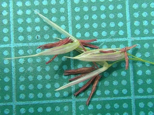 マコモ マコモ マコモ(真菰) 多年草北海道~九州の沼沢や河口に生育し、著しく群生する。茎は高さ