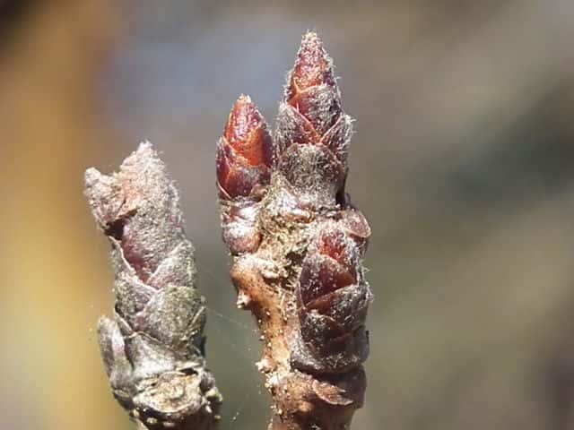 ソメイヨシノ ソメイヨシノ ソメイヨシノ(染井吉野) 落葉高木オオシマザクラとエドヒガンザクラの