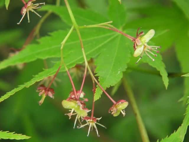 イロハモミジの画像 p1_2