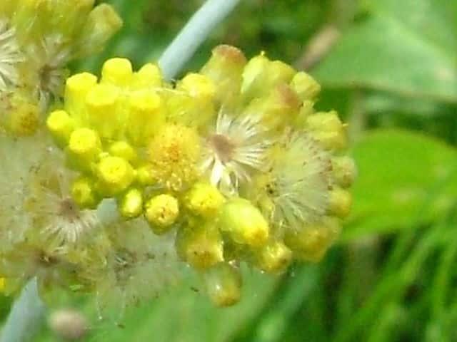 ハハコグサ花