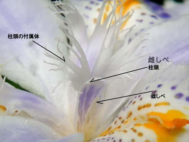 シャガ 雄しべ。花の落ちたあと。  シャガ