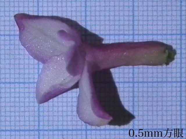 ジンチョウゲの画像 p1_26