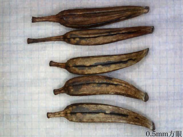 オオハルシャギクの画像 p1_22