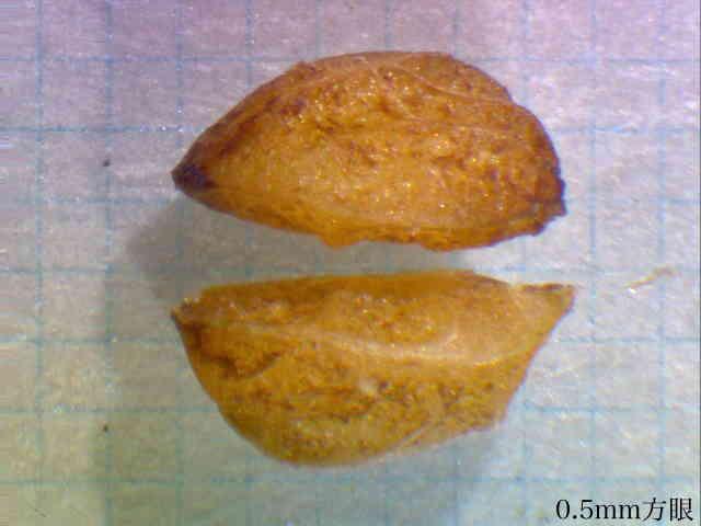 セイヨウヒイラギの画像 p1_34